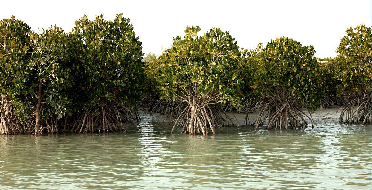 جنکل های حرا از جاذبه های گردشگری در جزیره قشم